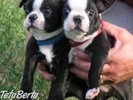 Prodám Bostonský Teriér štenata, , Zvieratá, Psy  | Tetaberta.sk - bazár, inzercia zadarmo