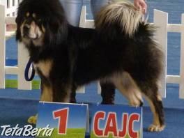 TIBETSKÁ DOGA-OCHRÁNCA MAJETKU , Zvieratá, Psy  | Tetaberta.sk - bazár, inzercia zadarmo