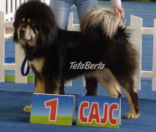 TIBETSKÁ DOGA-OCHRÁNCA MAJETKU, foto 1 Zvieratá, Psy | Tetaberta.sk - bazár, inzercia zadarmo