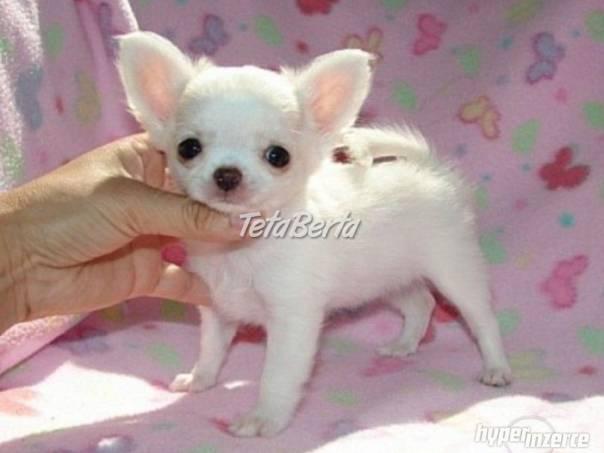 Čivava krátkosrstá mini , foto 1 Zvieratá, Psy   Tetaberta.sk - bazár, inzercia zadarmo