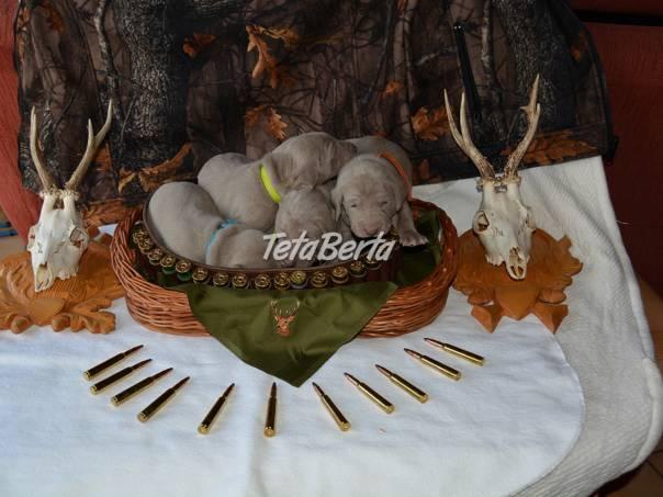 Predám šteniatka weimarského stavača, foto 1 Zvieratá, Psy | Tetaberta.sk - bazár, inzercia zadarmo