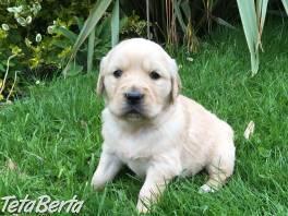 Nádherný vrh šteniatok zlatého retrievera , Zvieratá, Psy  | Tetaberta.sk - bazár, inzercia zadarmo