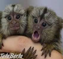 Opice Marmoset na predaj