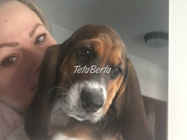 Predám šteniatka baseta, foto 1 Zvieratá, Psy | Tetaberta.sk - bazár, inzercia zadarmo
