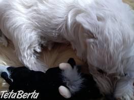 Westík - West Highland White Terrier - sučka  , Zvieratá, Psy  | Tetaberta.sk - bazár, inzercia zadarmo
