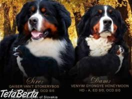 Bernský salašnícky pes , Zvieratá, Psy  | Tetaberta.sk - bazár, inzercia zadarmo