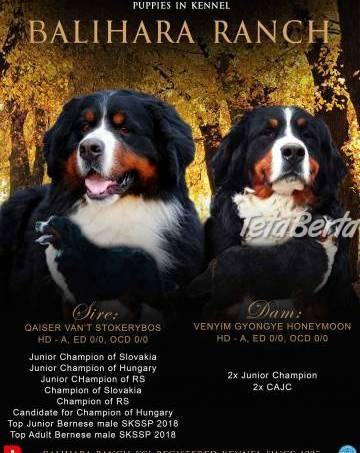 Bernský salašnícky pes, foto 1 Zvieratá, Psy | Tetaberta.sk - bazár, inzercia zadarmo
