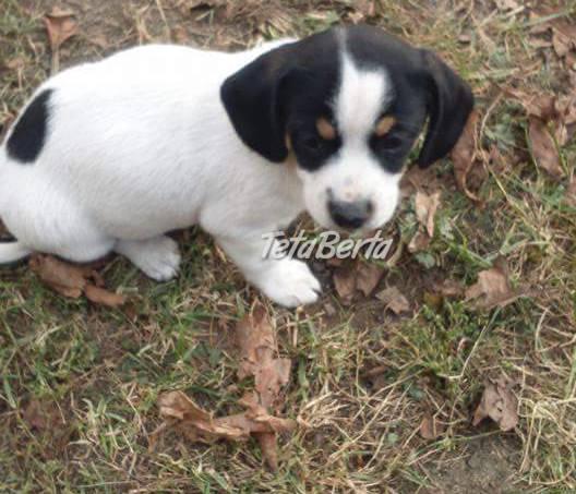 Šteniatka kríženci čivavi. Daujeme do dobrých rúk, foto 1 Zvieratá, Psy | Tetaberta.sk - bazár, inzercia zadarmo
